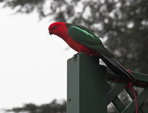 King parrot silhouette