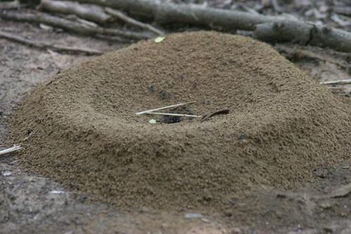 IMG_0027 Ant Nest close up