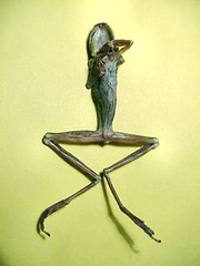 Dessicated Frog