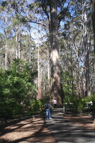 The Gloucester Tree at Pemberton