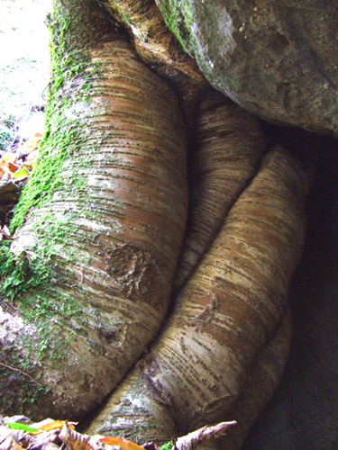 yellow birch roots 2