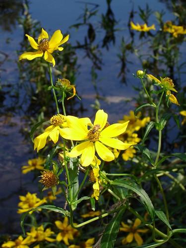 Lake flower