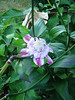 Clematis Josephine on Lily Stem