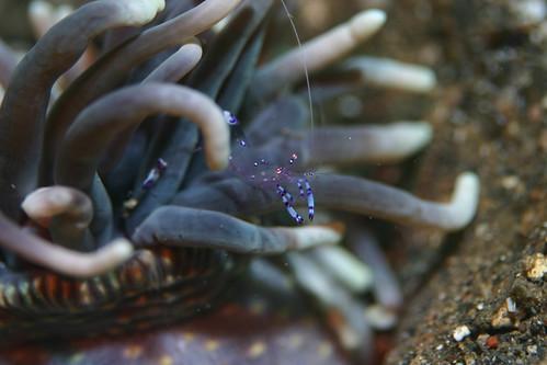 這裡的海葵蝦也是很多,這張仍然是在藍碧海峽拍的