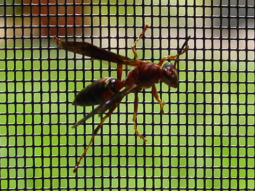 Wasp on Screen (Zoom)