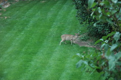 Deer in our back garden