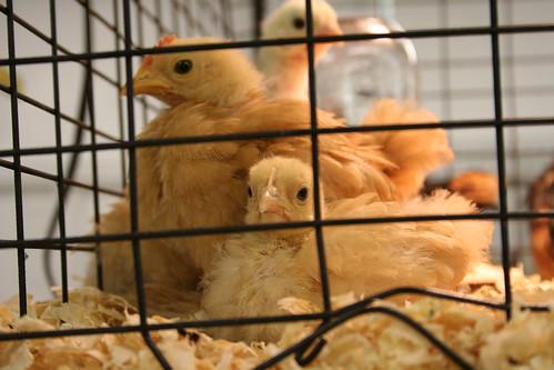 Cluster of chicks.