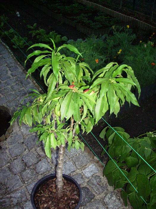 2006-08-18_nektarinenbaum