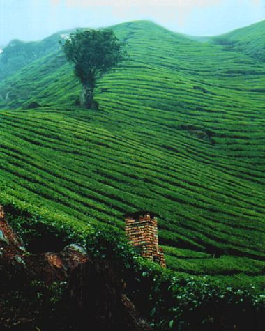 Boh tea farm at Cameron Highlands