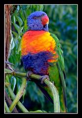 rainbow lorikeet photo by Vanessa Pike-Russell