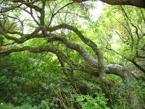more oaks