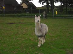 Alpaka Weibchen