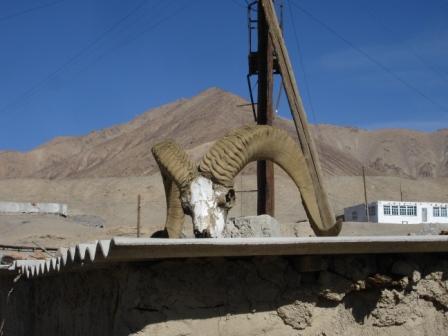 Skull of something that had big horns in Murgab, Tajikistan