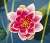 william falconer water lily