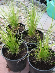 More Carex Plants
