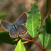 Karner Blue butterfly - female
