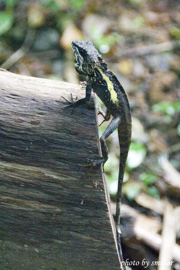 這隻蜥蜴剛好爬在斷木上很適合側拍特寫 ( 一線天往棲猿崖的路上 )