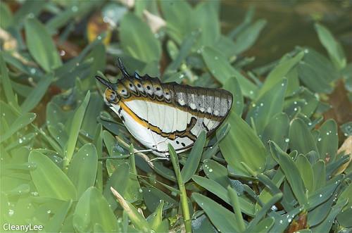16136 雙尾蝶