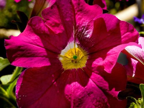 Petunia Neon Rose