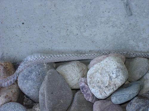 snake skin 1