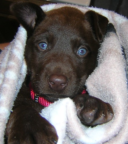 Pics For > Chocolate Labrador With Blue Eyes