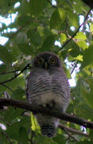 IMG_0046 Jungle Owlet