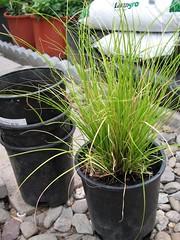 Carex Plant