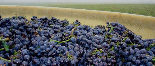 lovely Clos de la Roche grapes