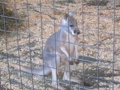 Rhinebeck: Kangaroo