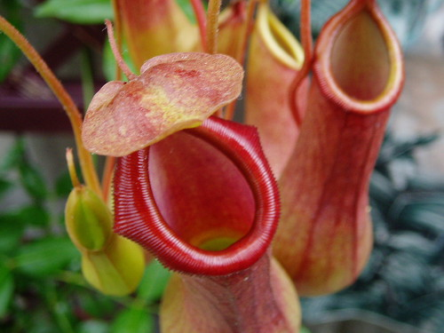 Nepenthes alata 3