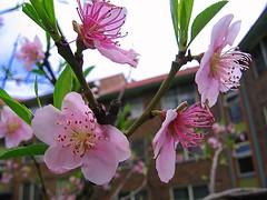 Surry Hills Blossoms 3