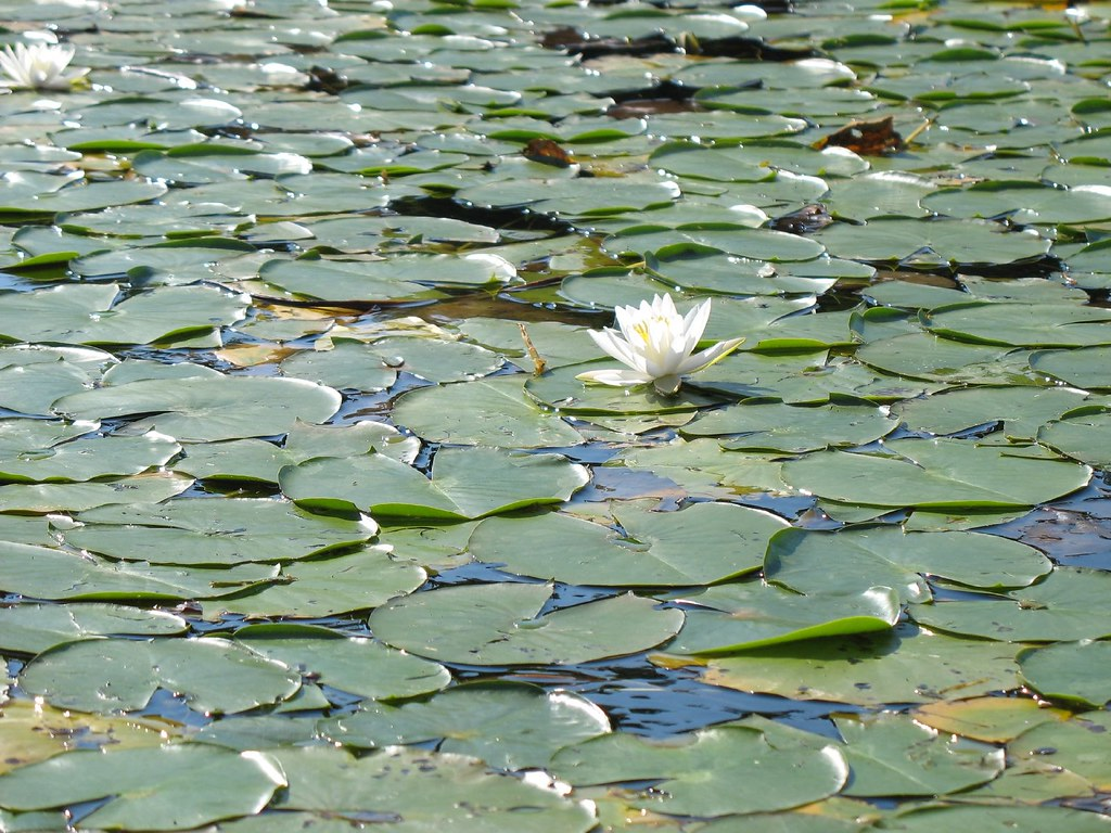 Lilypad Traffic Jam