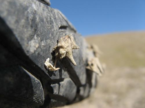 Big meaty thorns cannot hurt these tyres! / このタイヤ、強いよ!これでもパンクなし (烏魯木斉と天池の間)