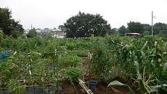 今週の市民農園:緑のジャングル