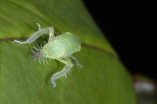 Een cicade?