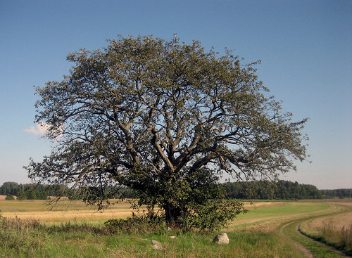 That Old Tree (August 26th)