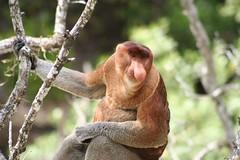 Male proboscis monkey