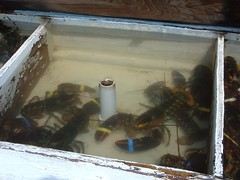 Lobster Tank at Eddy Marina