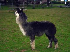 Alpaka Männchen
