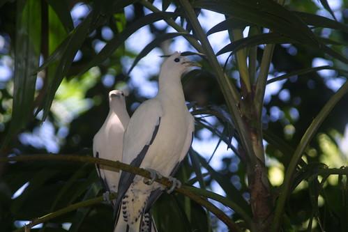 Pied (Torresian) Imperial Pigeon,Territory Wildlife Park