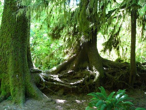 Trees on a nurse log--thanks, flickr member Matt Calder