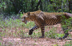 Leopard of Sri Lanka photo by Byflickr