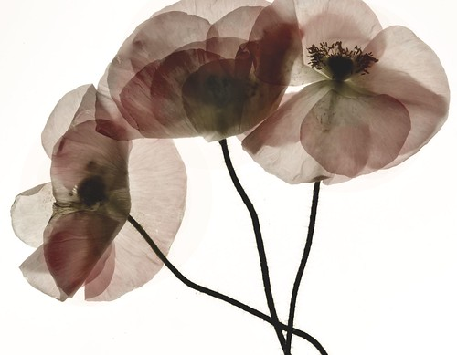 Papaver Rhoeas, Digital Photogram by Harold Davis, All Rights Reserved.