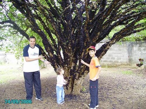 شجرة العنب الالماني