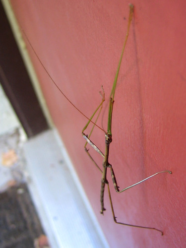 Walking Stick Bug 2