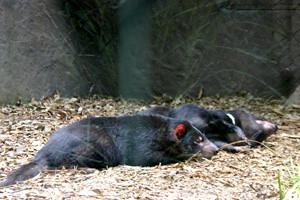Tasmanaian Devils Asleep