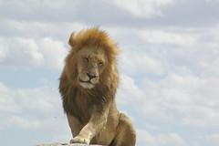 Sleepy Serengeti lion photo by inail1972