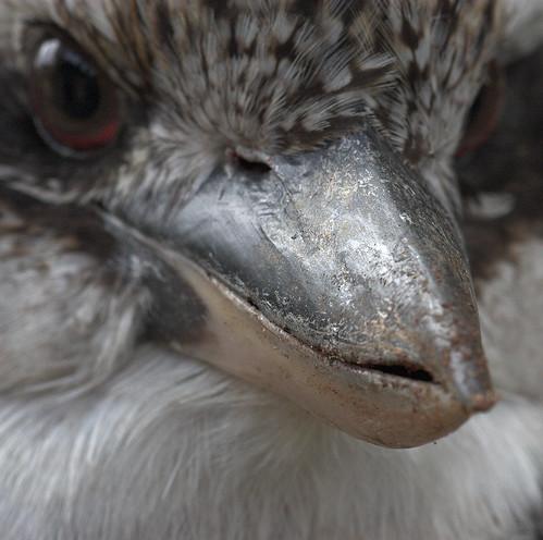 Kookaburra beak