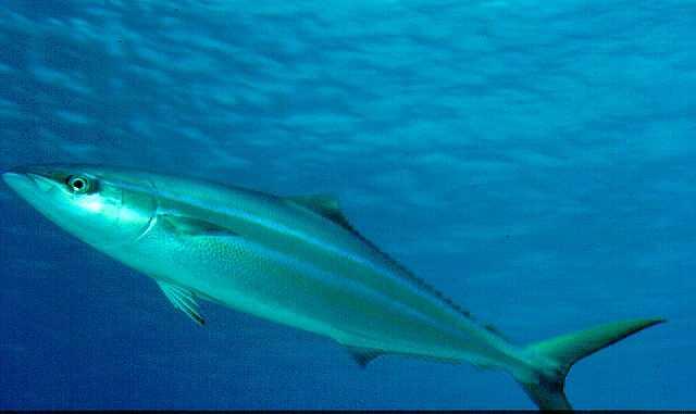 資料來源:http://www.spc.org.nc/oceanfish/Html/TEB/Bill&Bycatch/Age%20and%20growth.htm