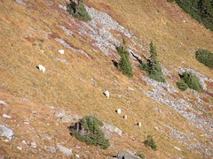 Mountain goats in slope below Skyscraper